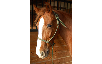 Sunny - Tennessee Walking Horse